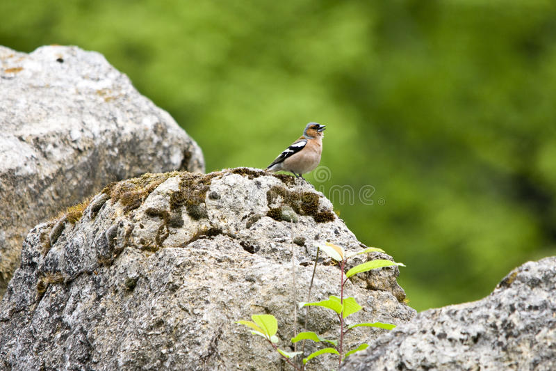 Finch On A Rock Stock Photos