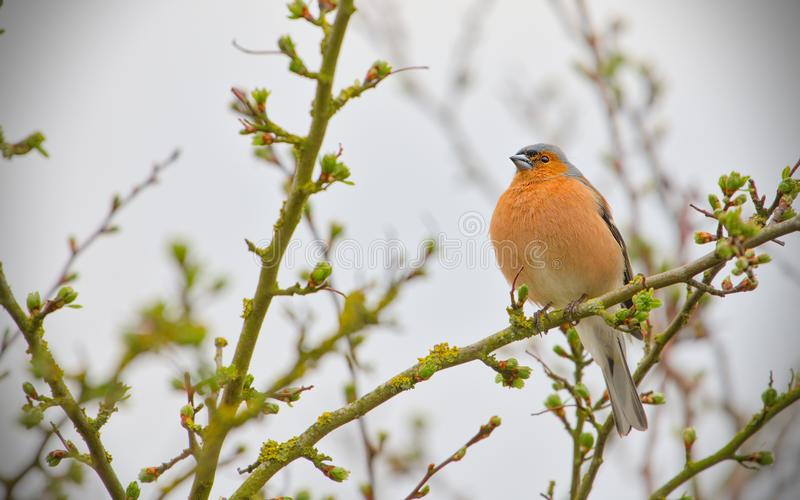 Chaffinch-fringilla coelebs looking for food stock images