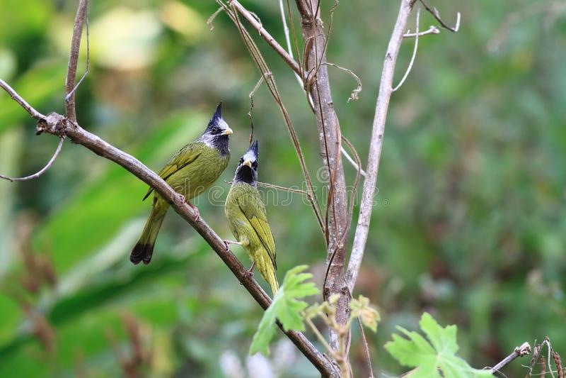 Finchbill mit Haube stockbild