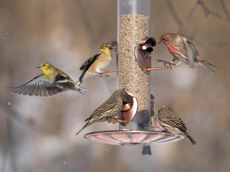 Download Finches at feeder stock image. Image of avian, plumage - 18069513