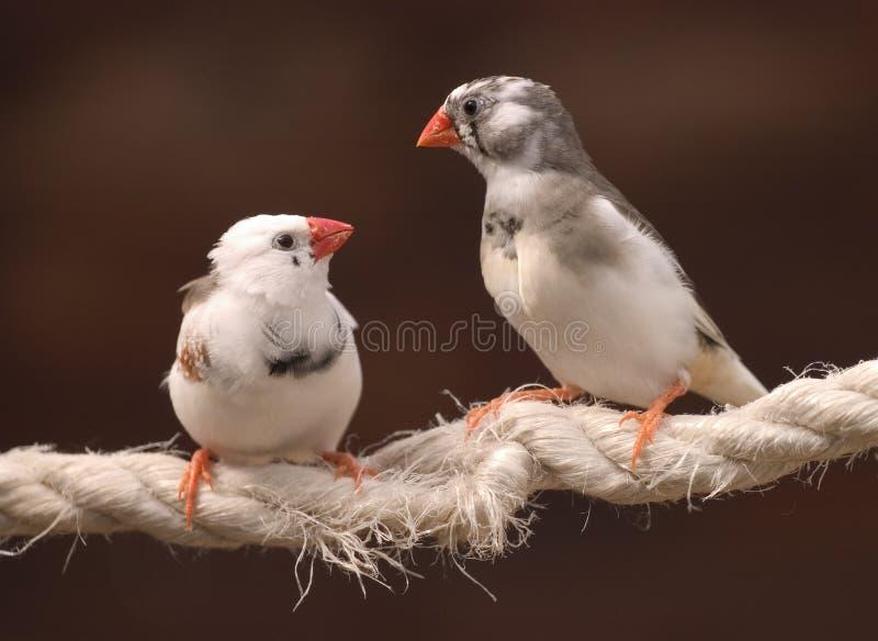 Finches in Liefde stock fotografie