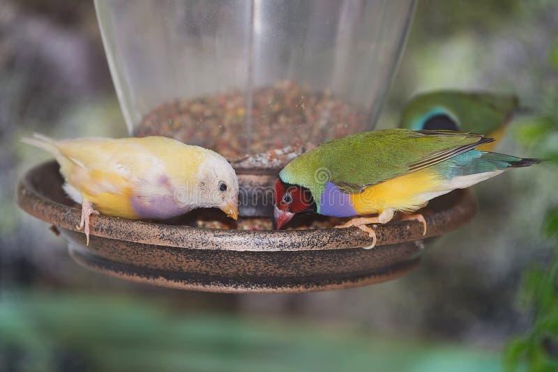 Finches op een Vogelvoeder stock afbeeldingen