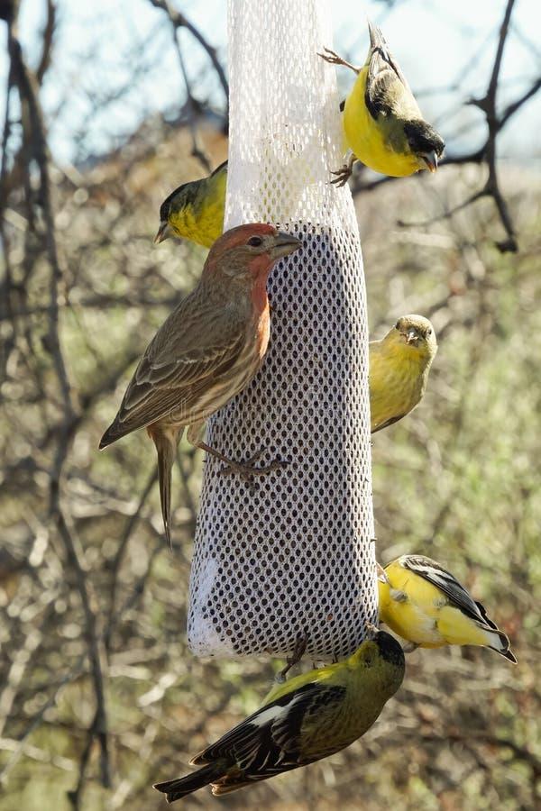 Finches ptaka karmienie obraz royalty free