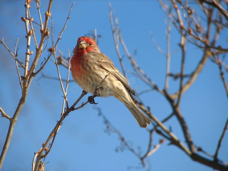 Download Finchhus arkivfoto. Bild av finches, natur, wild, finch - 506588