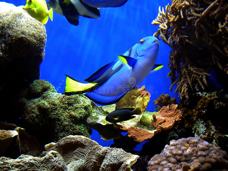 Finding Nemo's Dory royalty free stock photos