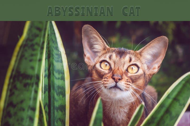 Fine abissina del gatto su, nei termini naturali nella pianta, immagini stock