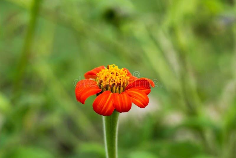 Fine arancio rossa del fiore di colore su fotografie stock