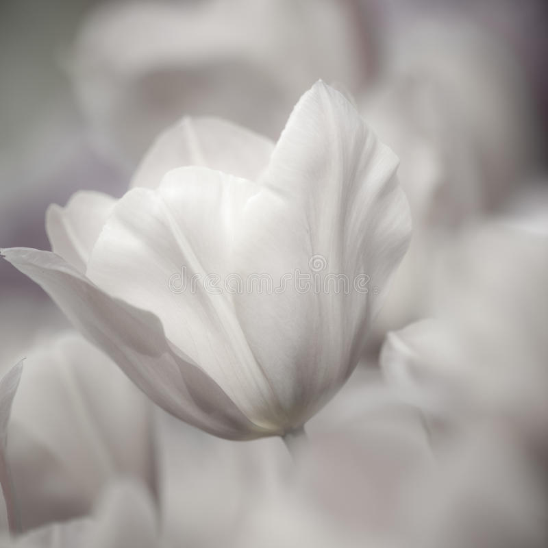 Fine art of close-up Tulips, blurred and sharp royalty free stock photos