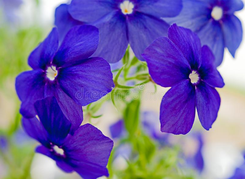 Fine art close view of Blue Phlox blooming on a window sill. In summer royalty free stock photos