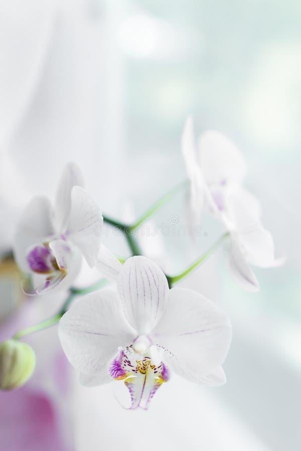 Fine bianca del fiore dell'orchidea in su Fuoco selettivo Struttura verticale Sfondo naturale dei fiori freschi fotografia stock libera da diritti