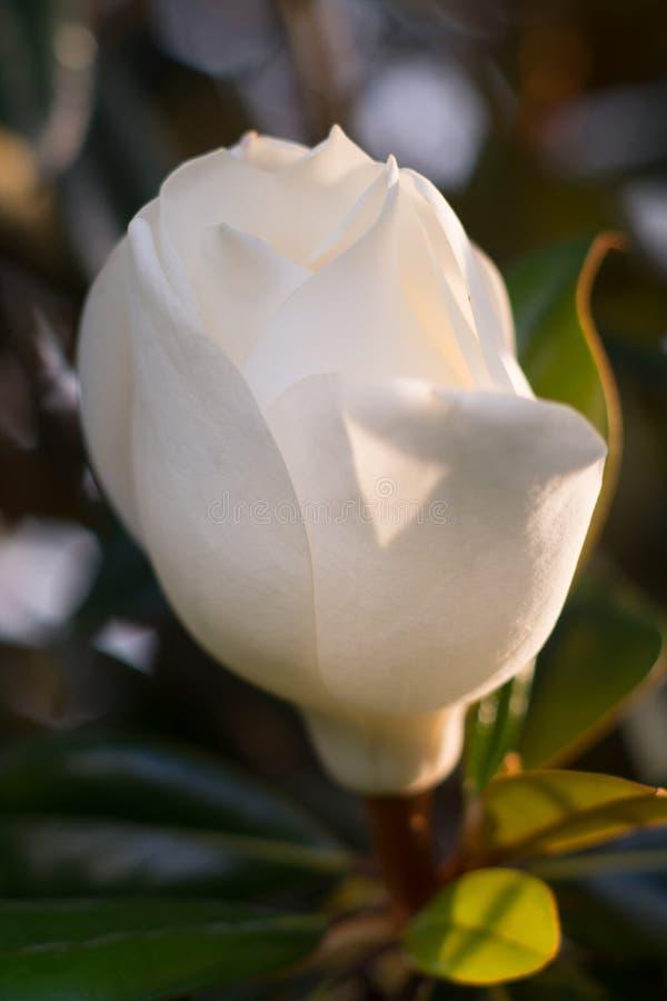 Fine bianca del fiore della magnolia su al sole immagini stock