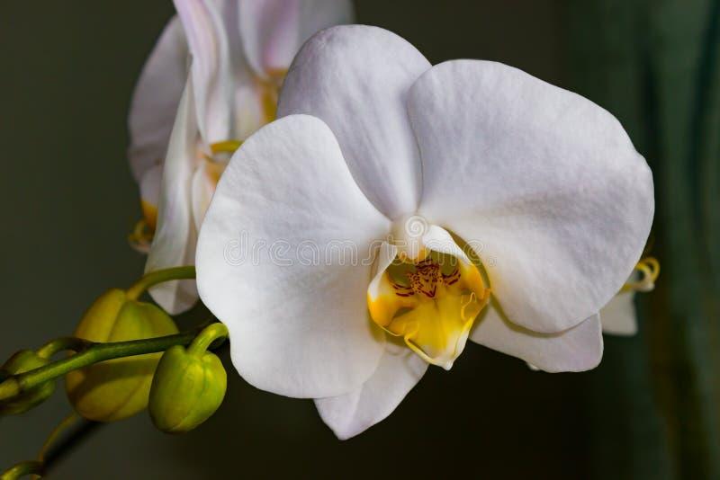 Fine bianca di phalaenopsis dell'orchidea del bello fiore su fotografia stock libera da diritti