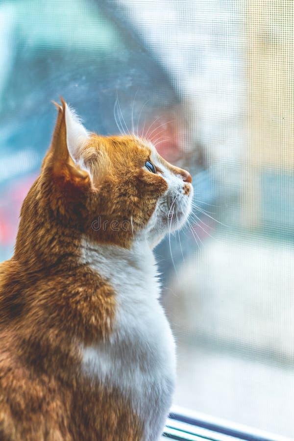 Fine bianco-e-rossa divertente del gatto tagliata ritratto su fotografie stock libere da diritti