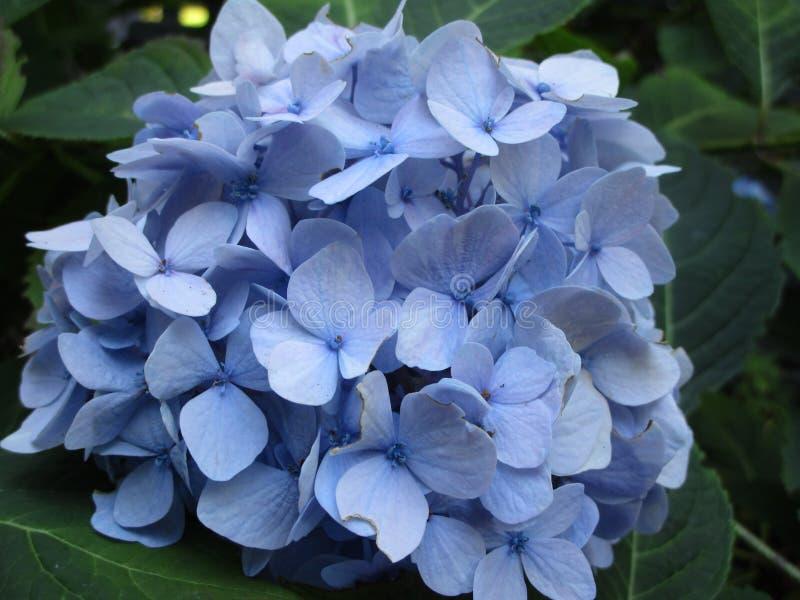 Fine blu-chiaro luminosa del fiore dell'ortensia su, Columbia Britannica, Canada, 2018 immagine stock