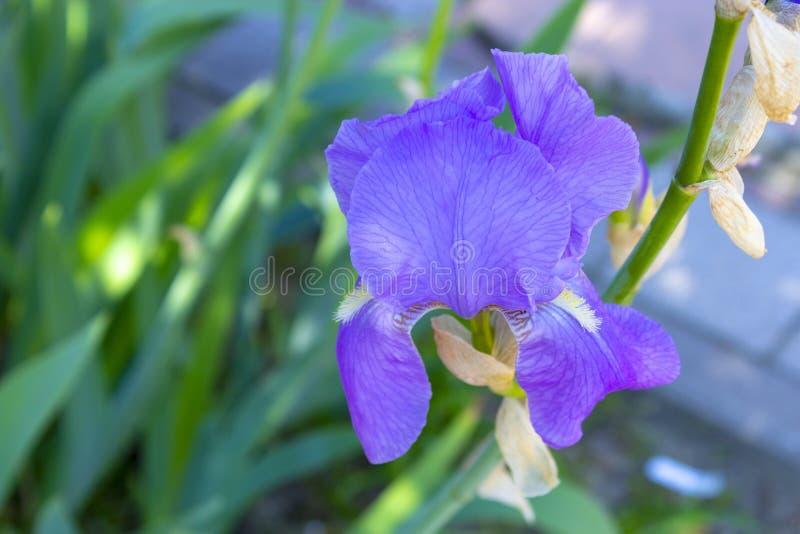 Fine blu dell'iride su fotografie stock libere da diritti