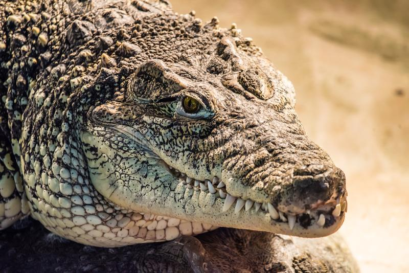 Fine capa del coccodrillo di Nilo o di crocodylus niloticus su fotografia stock libera da diritti