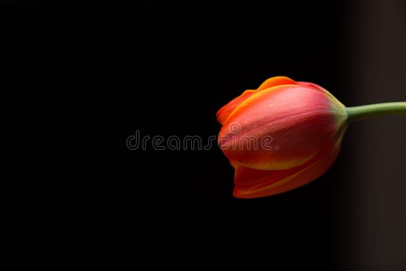 Fine chiusa arancio del tulipano dei petali sul macro colpo fotografia stock