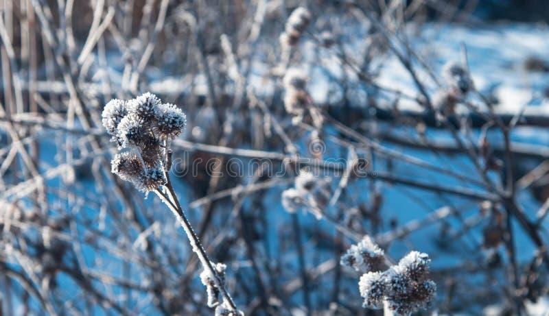 Fine congelata del cardo selvatico sul colpo immagine stock