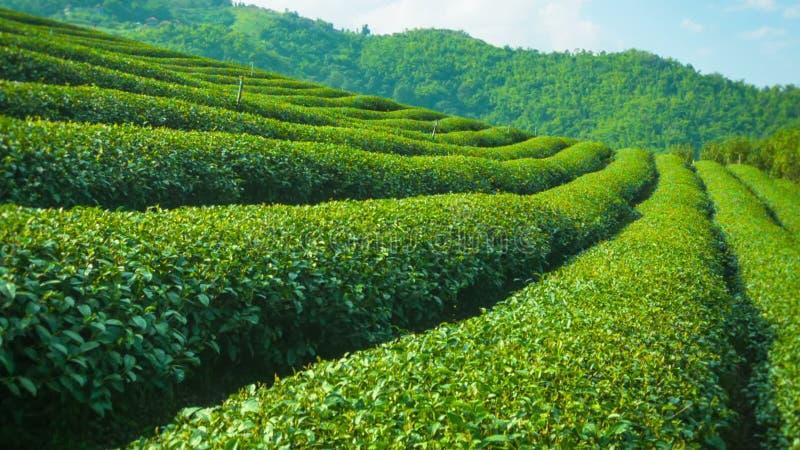 Fine crescente del tè su Altopiani della Tailandia stock footage