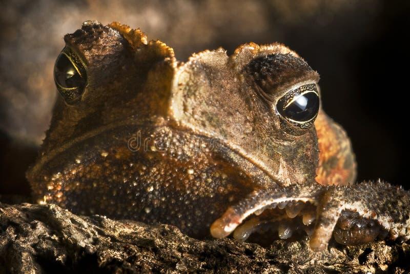 Fine crestata dell'animale selvatico del rospo sui grandi occhi   immagini stock libere da diritti