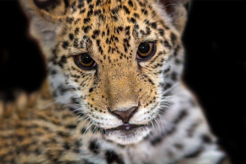 Fine del bambino di Jaguar sul ritratto fotografie stock