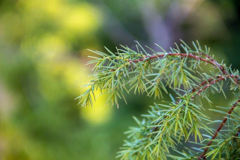 Fine del brunch dell'albero di abete su Fuoco poco profondo Fine lanuginosa del brunch dell'albero di abete su Concetto della car fotografia stock