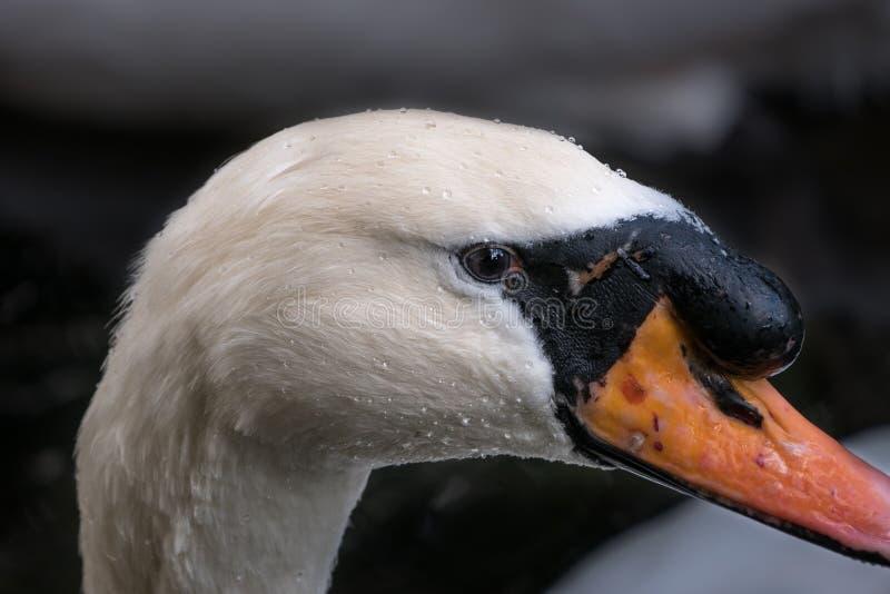 Fine del cigno muto del maschio adulto sul ritratto, dettaglio dell'occhio fotografie stock