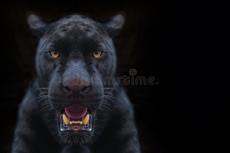 Fine del colpo della pantera nera su fondo nero fotografia stock