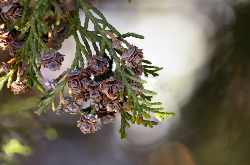 Fine del cono di thuja occidentalis su backround verde fotografia stock