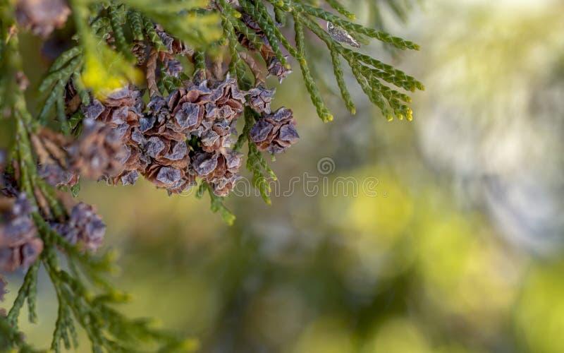 Fine del cono di thuja occidentalis su backround verde fotografie stock libere da diritti