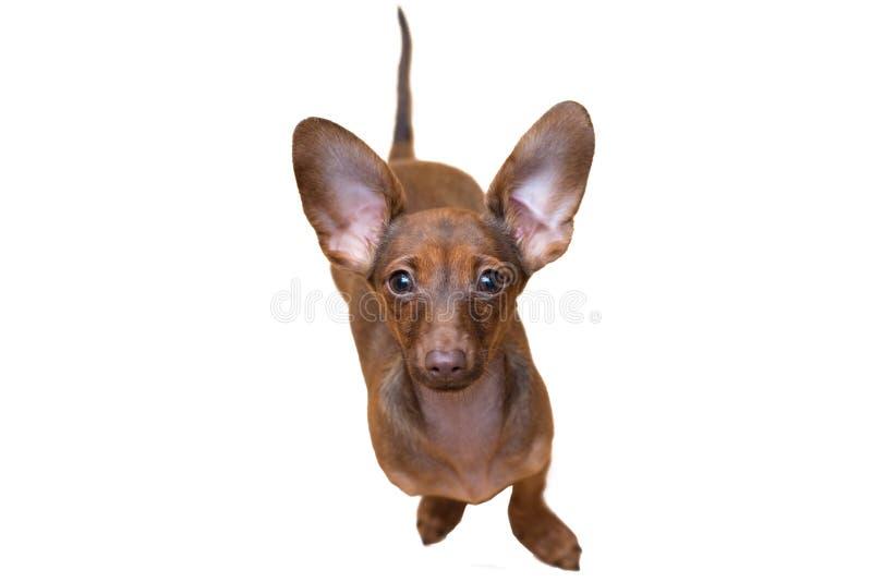 Fine del cucciolo del bassotto tedesco su pet Isolato sveglio del cane fotografie stock libere da diritti