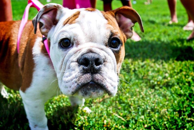 Fine del cucciolo del bulldog in su immagine stock libera da diritti