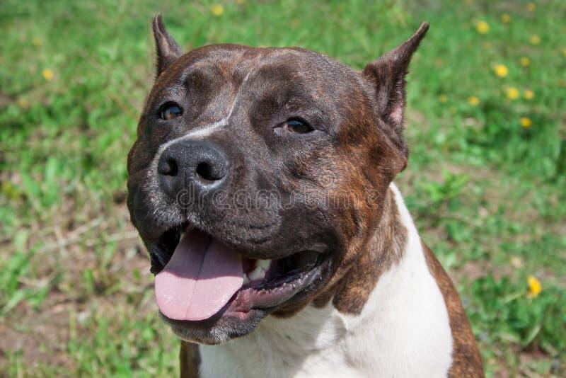 Fine del cucciolo del terrier di Staffordshire americano su Animali da compagnia fotografie stock