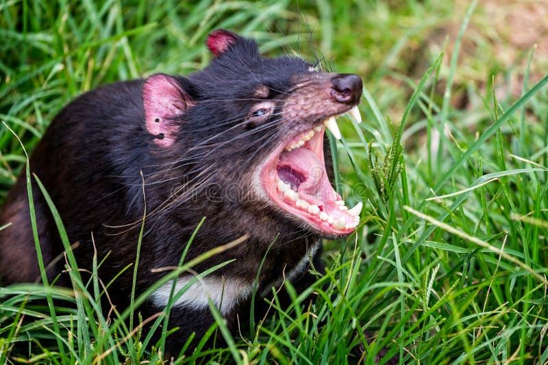 Fine del diavolo tasmaniano su fotografia stock libera da diritti