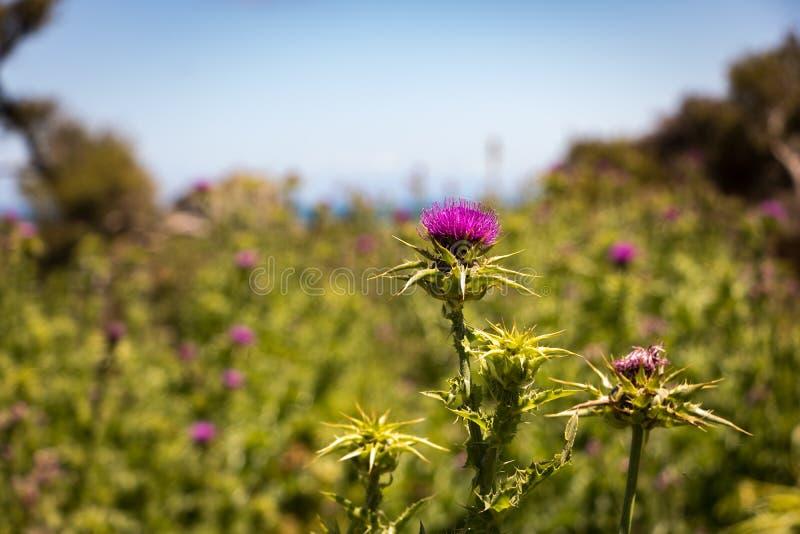 Fine del fiore del cardo selvatico su fotografie stock