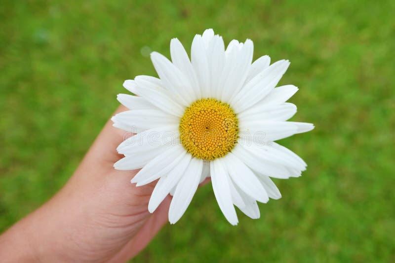 Fine del fiore della camomilla sulla vista superiore immagini stock libere da diritti
