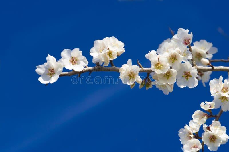 Fine del fiore della mandorla in su immagini stock