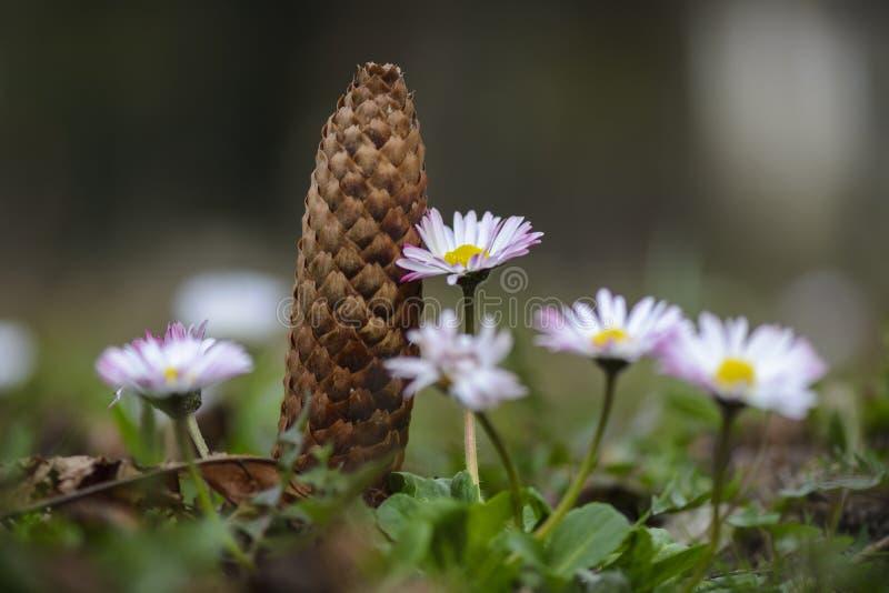 Fine del fiore della margherita su con la pigna nel fondo fotografie stock