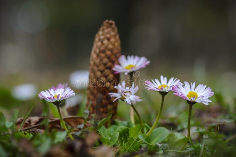 Fine del fiore della margherita su con la pigna nel fondo fotografia stock libera da diritti