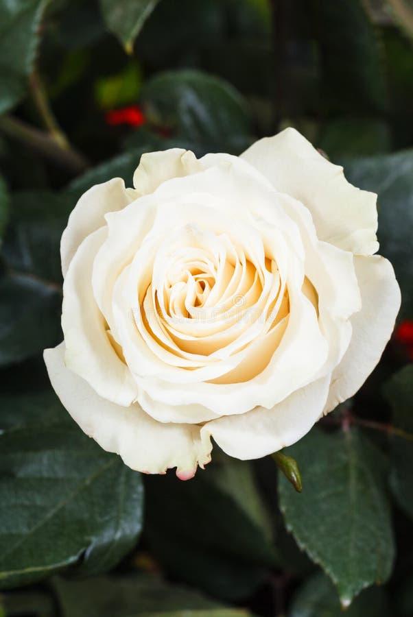 Fine del fiore della rosa di bianco su sul cespuglio verde fotografia stock