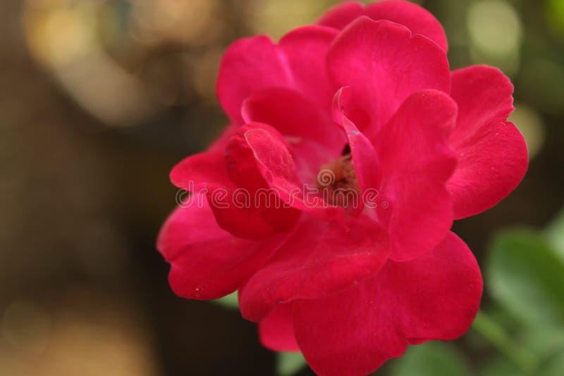Fine del fiore della rosa rossa sulla foto immagini stock