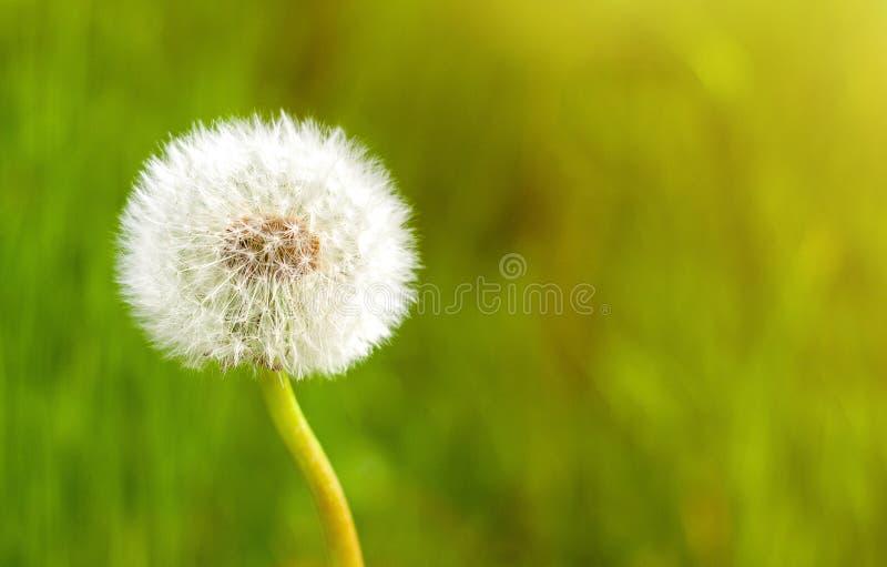 Fine del fiore del dente di leone su contro il fondo vivo dell'erba di estate immagini stock libere da diritti