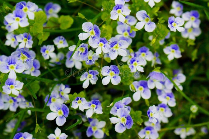 Fine del fiore di myosotis sul letto di fiore fotografia stock libera da diritti
