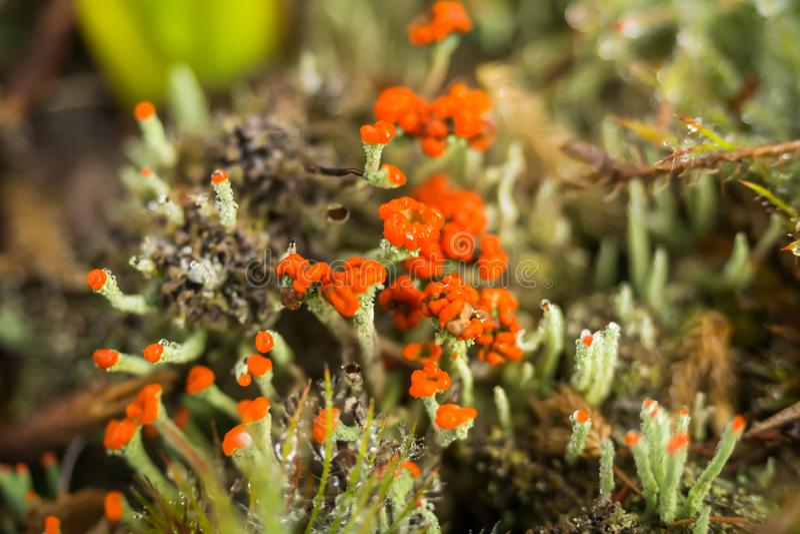 Fine del fiore del lichene di renna su fotografie stock libere da diritti