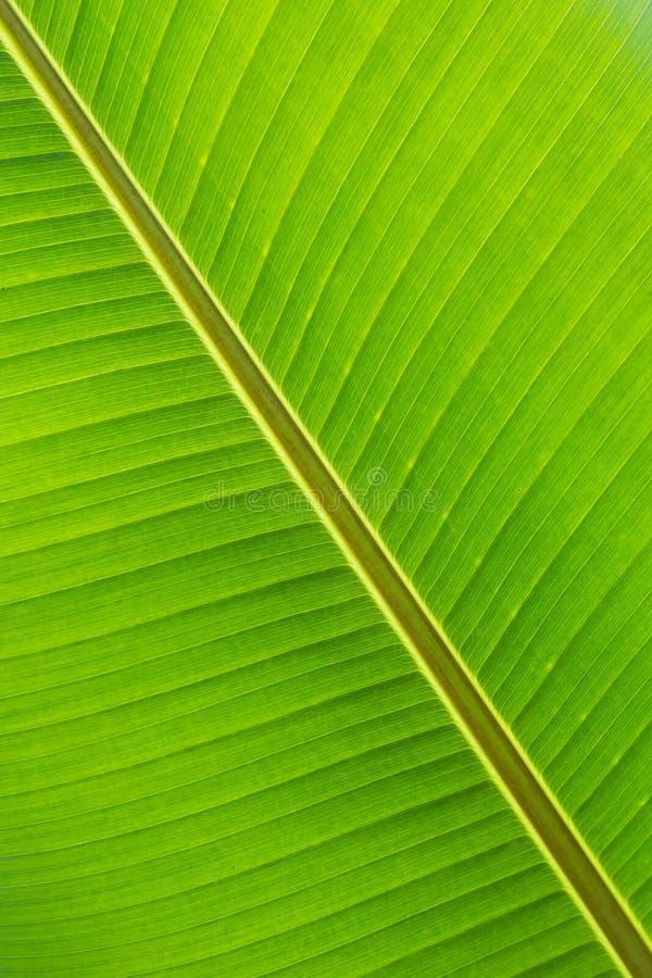 Fine del foglio della banana in su fotografia stock