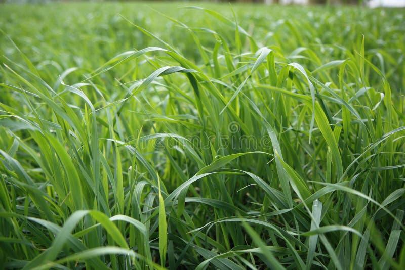 Fine del fondo dell'erba verde su immagine stock