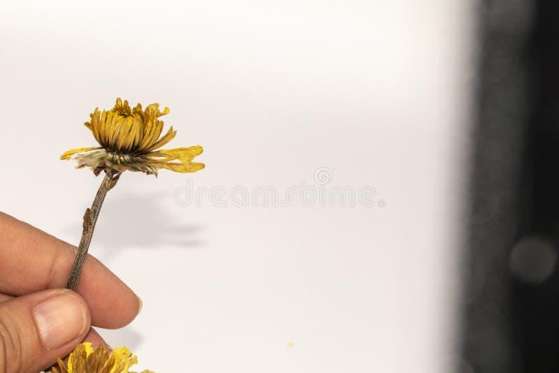 Fine del fuoco selettivo sul giudicare il vecchio fiore giallo secco della mano isolato su fondo bianco fotografia stock libera da diritti