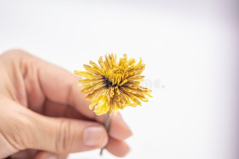 Fine del fuoco selettivo sul giudicare il vecchio fiore giallo secco della mano isolato su fondo bianco fotografie stock libere da diritti