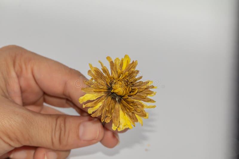 Fine del fuoco selettivo sul giudicare il vecchio fiore giallo secco della mano isolato su fondo bianco fotografia stock