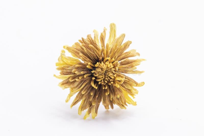 Fine del fuoco selettivo sul vecchio fiore giallo secco isolato su fondo bianco fotografie stock libere da diritti